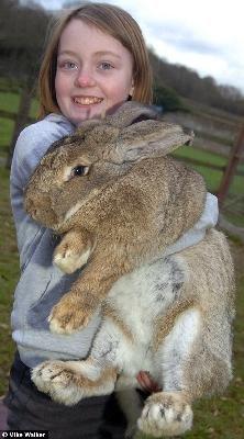 比利时巨兔